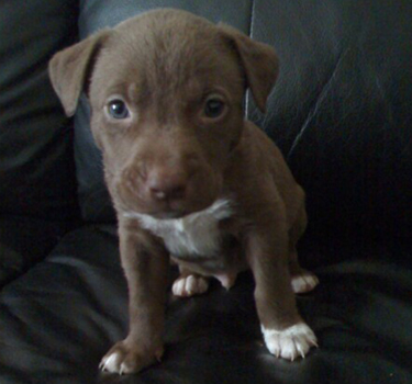 Brown Pit Bull Puppy