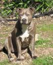 Blue Pit Bull, Owner: Anonymous