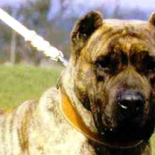 Breed Profile – Alano Espanol