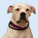 Breed Profile – American Bulldog