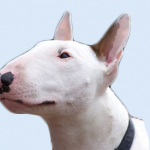 Breed Profile – Bull Terrier