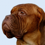 Breed Profile – Bull Mastiff, Bullmastiff