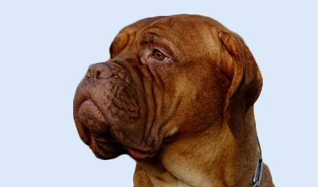 Breed Profile Bull Mastiff Bullmastiff Characteristics