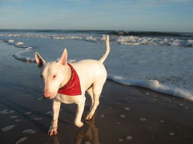 Bull Terrier, Owner: Flickr Member toucanmacaw (Used According to CC Licence)