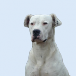 Breed Profile – Dogo Argentino