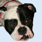 Breed Profile – Olde English Bulldogge