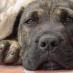 Breed Profile – Perro de Presa Canario