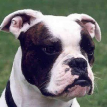 Breed Profile – Valley Bulldog