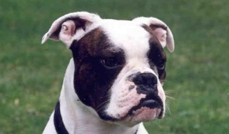 Breed Profile Valley Bulldog English