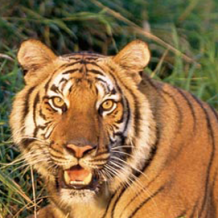 Tiger Attack Blamed on Pit Bull