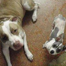 A Pitbull and Chihuahua Love Chihuahua X Pitbull