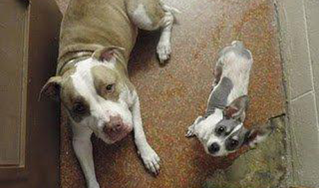 A Pitbull and Chihuahua Love Story