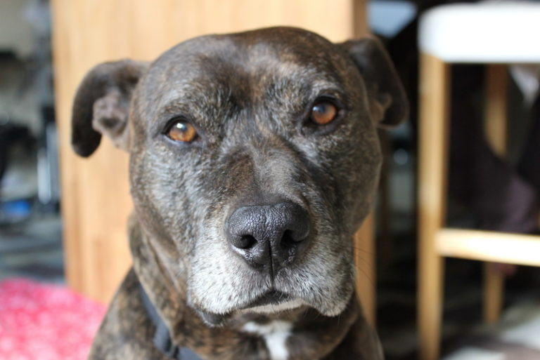 Insurance for Pit Bulls, Find Insurers That Accept Pitbulls