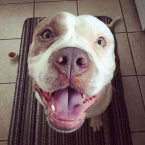 rent to tenants with pit bulls